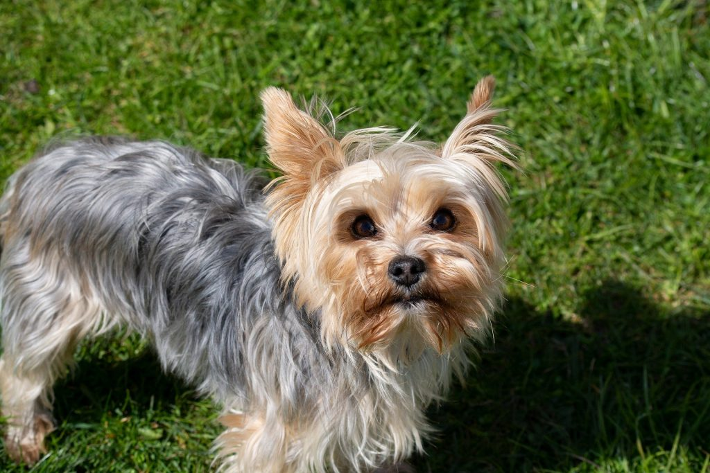 Profile Anjing: Yorkshire Terrier