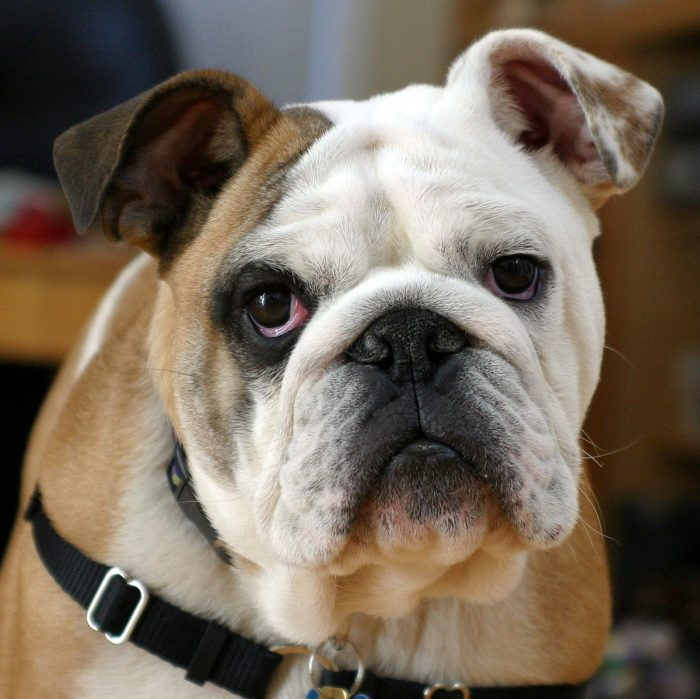 Profile Anjing: Bulldog