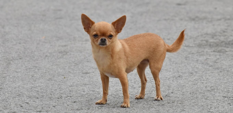 Profile Anjing: chihuahua