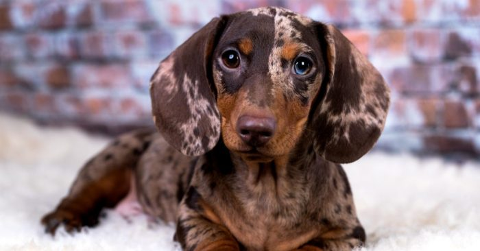 Profile Anjing: Dachshund