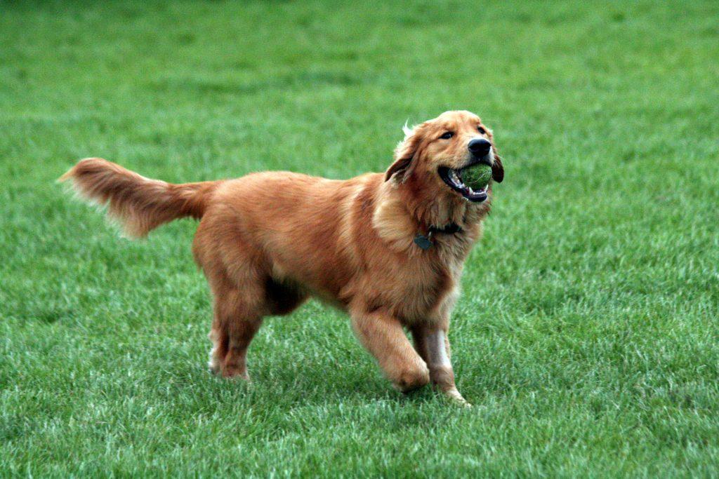 Profile Anjing: Golden Retriever