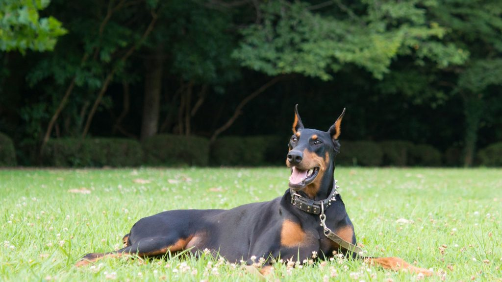 Profile Anjing: Pinscher Doberman