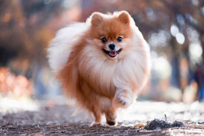 Profile Anjing: Pomeranian