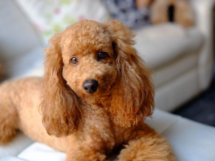 Profile Anjing: Poodle